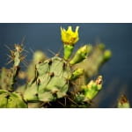 Prickly Pear Cactus Seed Oil - 10ml / 0.34oz