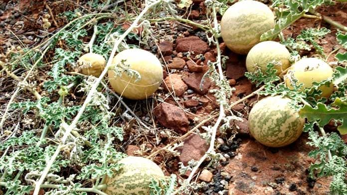 using kalahari melon seed oil