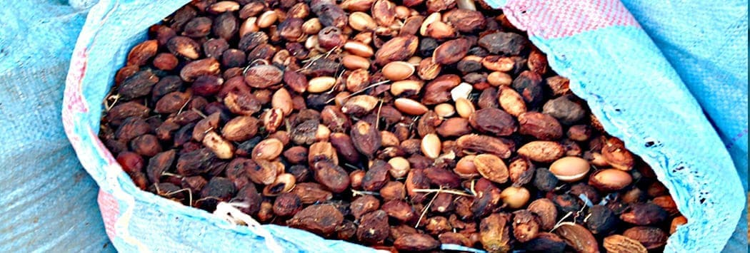image showing large blue sack full of dried argan tree fruits with black wrinkled skin