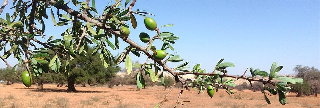 image of pale green argan fruit on tree sunny