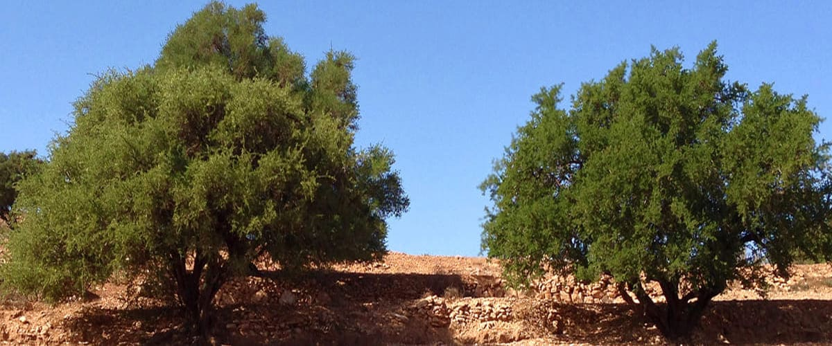 photo of two dark green argan trees growing in red sand landscape