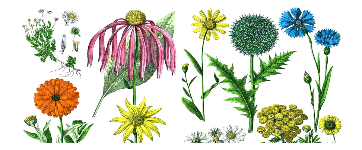 colourful scientific sketches of plants