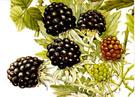 heart disease and berries