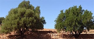 image link to article about nutrients and chemistry of argan oil