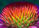 echinacea collagen