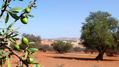 Moroccan Argan Oil Trees