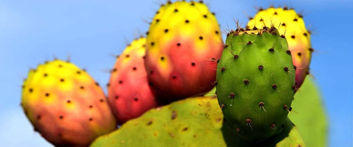 cactus seed fruits from Morocco