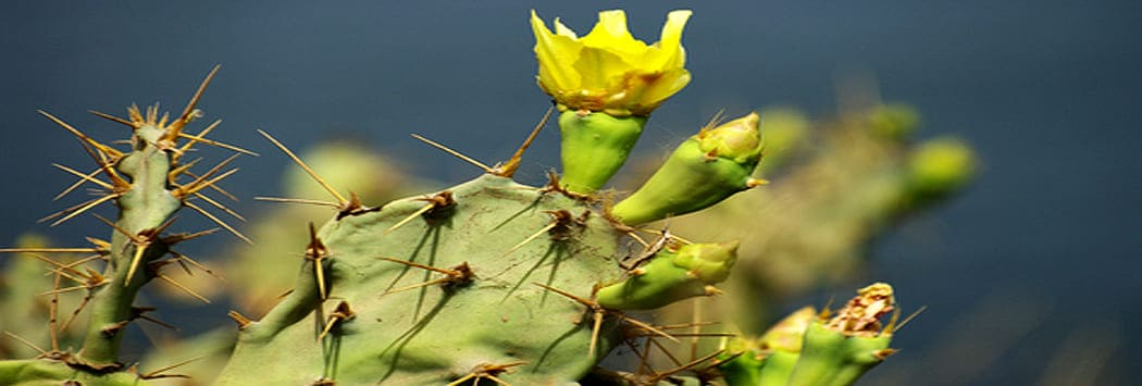 moroccan prickly pear cactus seed oil fruit