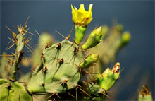 prickly pear seed cactus oil plant